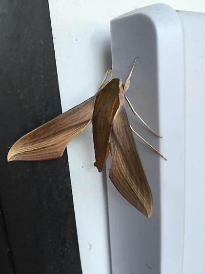 moth - Xylophanes tersa