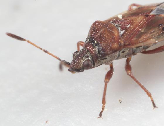 Pentatomomorpha - Kleidocerys resedae