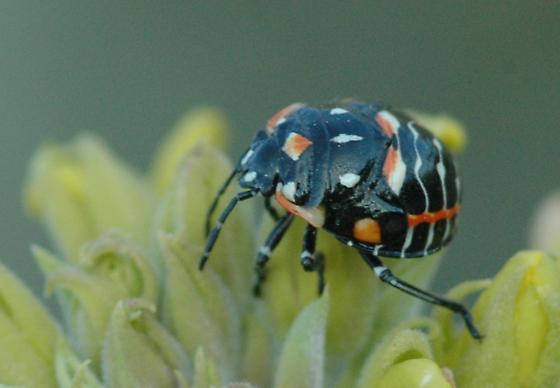 Harlequin Bug Nymph - Murgantia histrionica