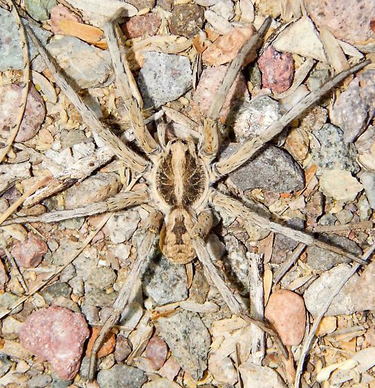 Carolina Wolf Spider? - Hogna carolinensis