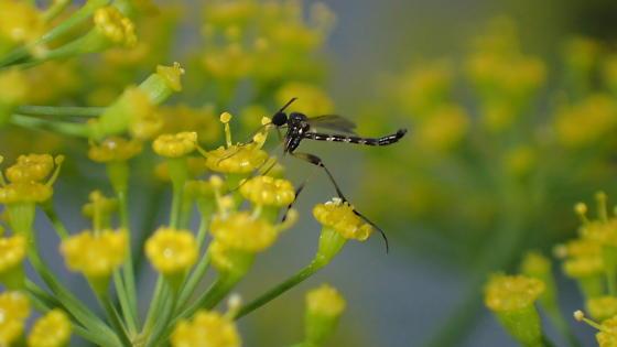Unknown winged insect in North Carolina - Lygistorrhina sanctaecatharinae - male