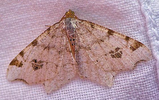 Mystery Moth 9 - Macaria aemulataria