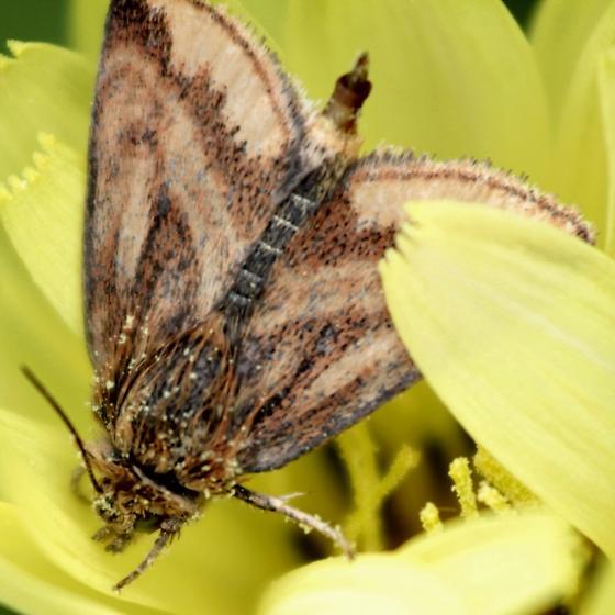 Hodges#11169 - Schinia mitis