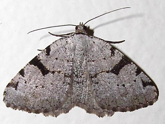 Geometridae - Macaria subcessaria