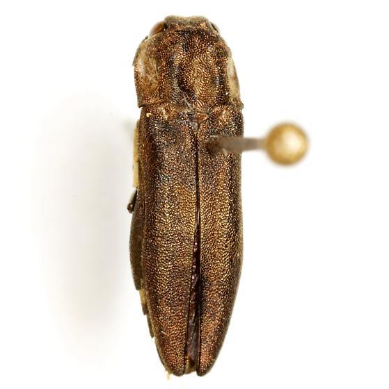 Agrilus obtusus Horn - Agrilus obtusus