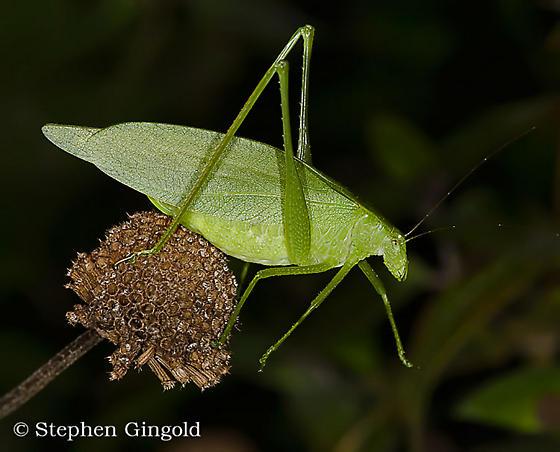 Round-headed Katydid (Amblycorypha) - Amblycorypha oblongifolia - female