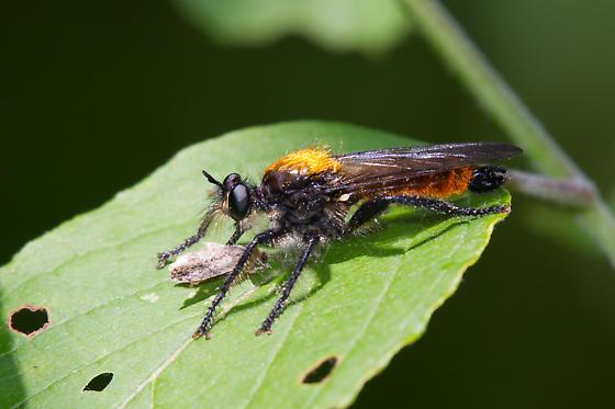 Laphria sericea - male