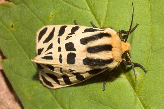 Moth Found on Lettuce - Apantesis proxima - female