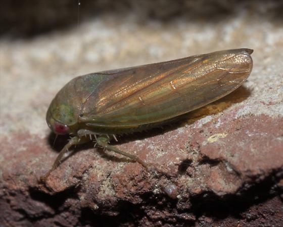 Greenish brown leafhopper - Polana