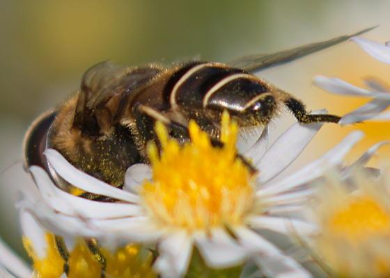 Flower Fly Eristalis dimidiata - Eristalis dimidiata