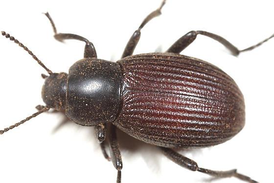 Darkling Beetle - Eleodes carbonaria