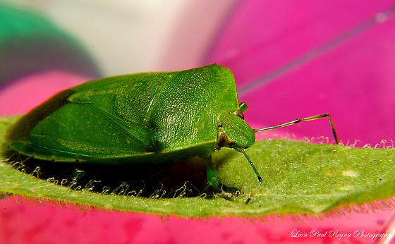 Green Bug - Chinavia hilaris