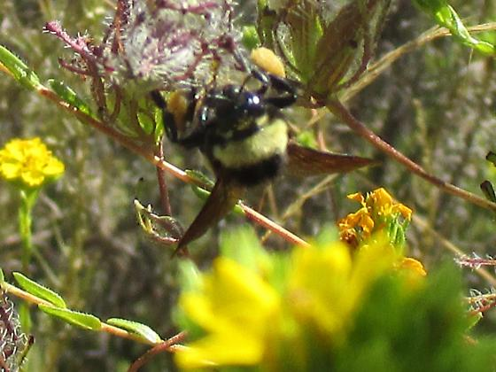 Bumblebee on Stiffbranch Birds Beak black face yellow thorax abdomen with yellow and redish orange bands - Bombus crotchii