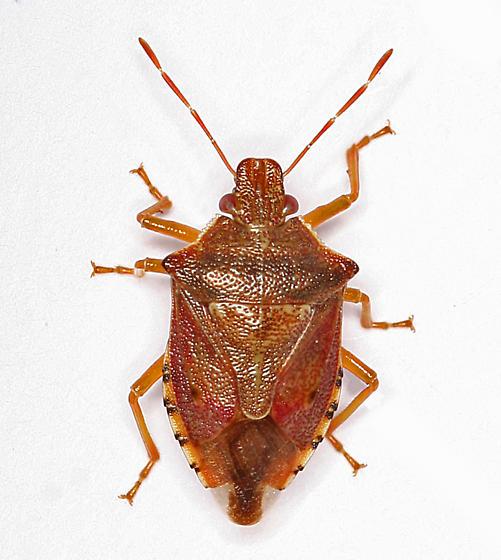 brown stink bug - Podisus brevispinus