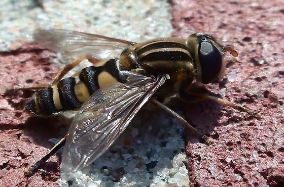 Syrphidae: Helophilus fasciatus? - Helophilus fasciatus