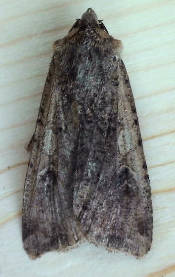 Noctuidae: Peridroma saucia? - Peridroma saucia