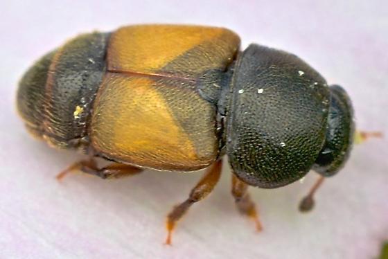 Beetle ~3mm - Nitops pallipennis