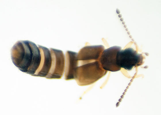 Family Staphylinidae - Carpelimus