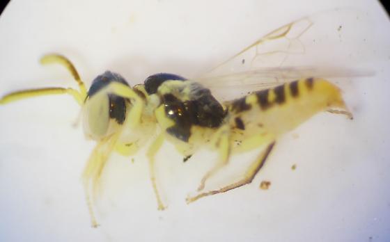 Bee - Perdita