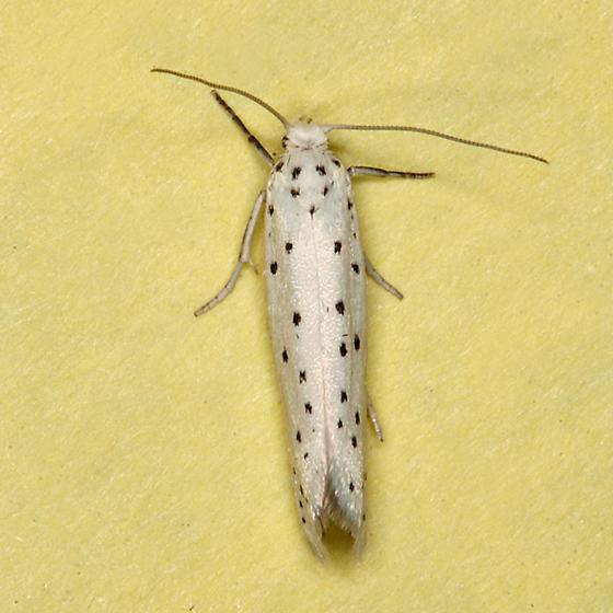 Apple Ermine Moth - Yponomeuta malinellus
