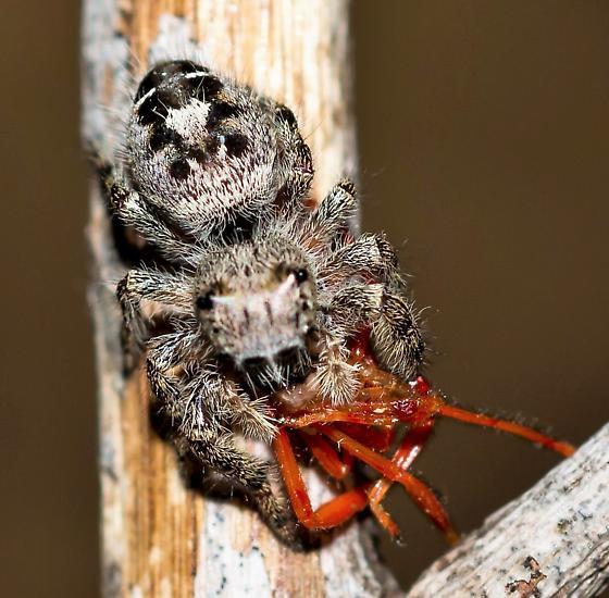 Phidippus carolinensis or ... ? - Phidippus - female