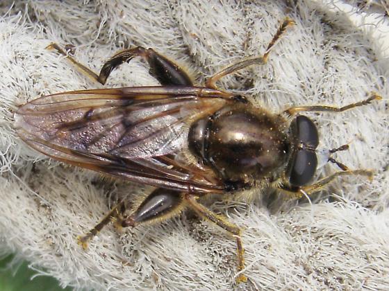 Hairy Syrphid - Brachypalpus oarus - male