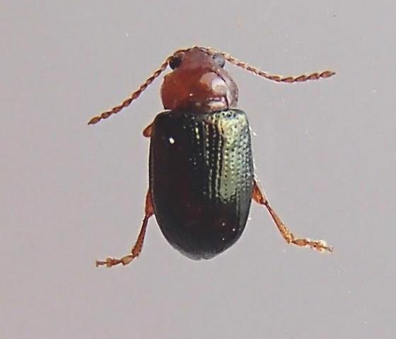 Beetle - Derocrepis erythropus