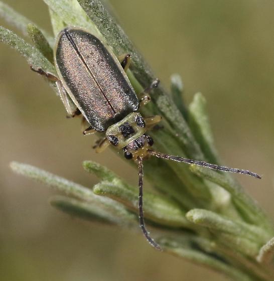 Trirhabda sericotrachyla - male