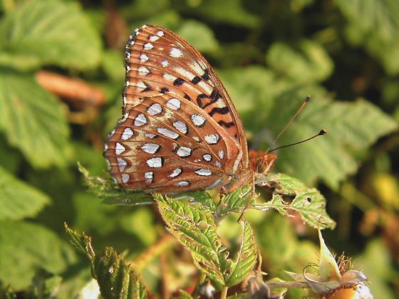 Fritillary - Speyeria aphrodite
