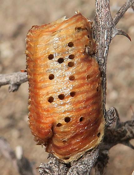 California Mantis egg case, parasitized - Podagrion