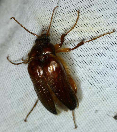Blacklight beetle - Scaptolenus
