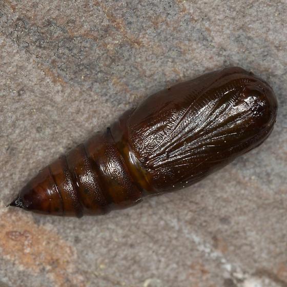 Hypagyrtis esther - female