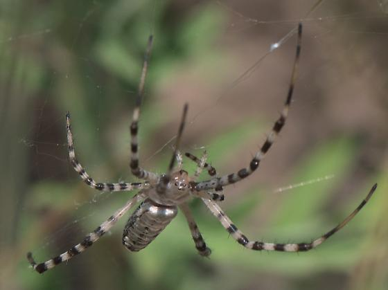 Tan spider with striped legs - Argiope trifasciata