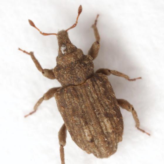 Pnigodes setosus LeConte - Pnigodes setosus