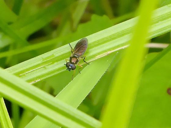 Syphid Fly - Pyrophaena granditarsis - Pyrophaena granditarsis