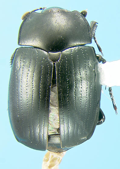 False clown beetle - Sphaerites politus
