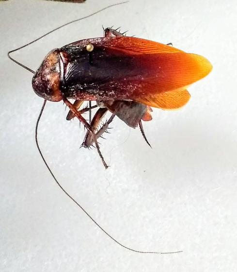 cockroach 1 - Periplaneta americana