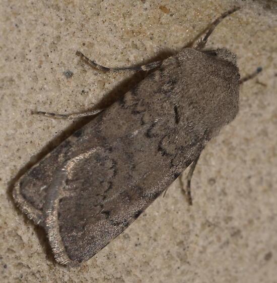 Brown owlet moth - Euxoa comosa