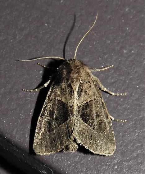Oligia obtusa - Hodges#9418  - Oligia obtusa