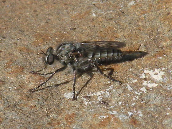 Small robber fly - Cophura