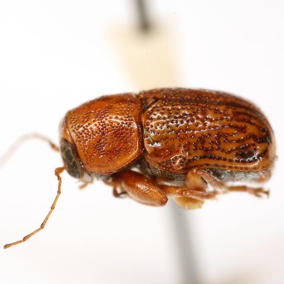 Pachybrachis macronychus Fall - Pachybrachis macronychus
