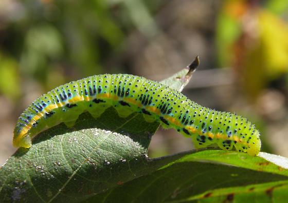 caterpillar - Phoebis sennae