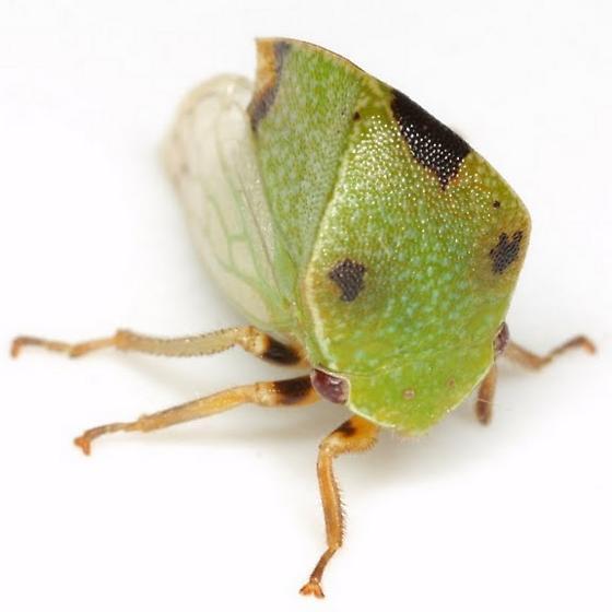 Ceresa inermis (Fabricius) - Ceresa inermis