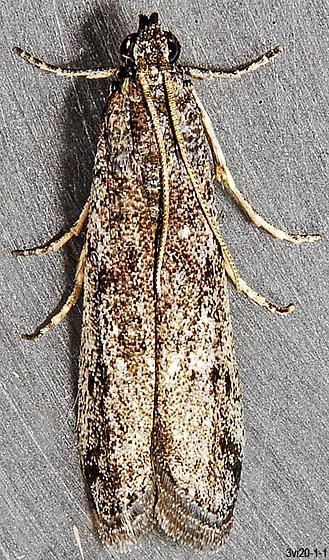 unknown micro - Phycitodes reliquellum - male