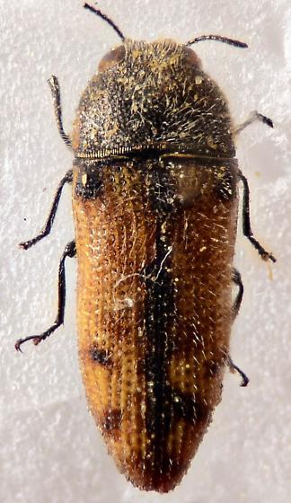 Buprestid 2 - Acmaeodera immaculata