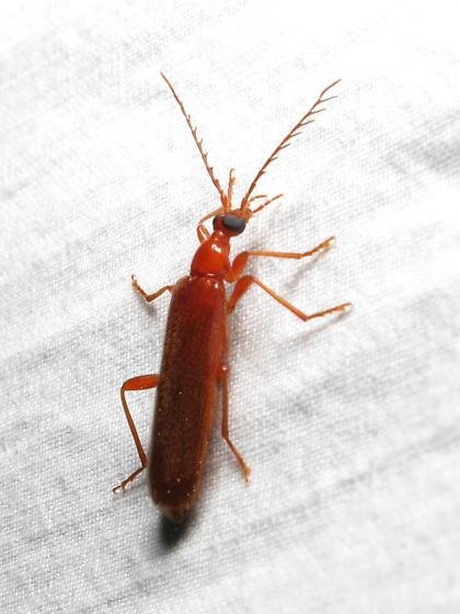 ID request - beetle - Dendroides concolor