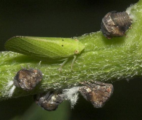 Leaf hoppers?? - Acanalonia conica