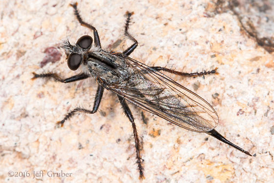 Asilid - Efferia jubata - female