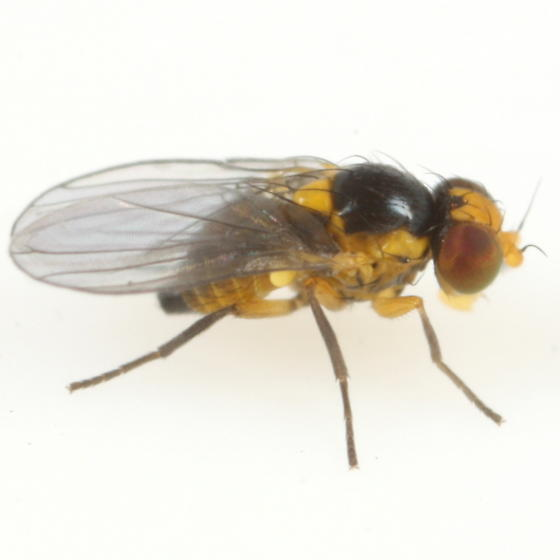 Liriomyza polygalivora - female