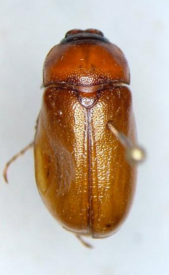 Phyllophaga gracilis - female